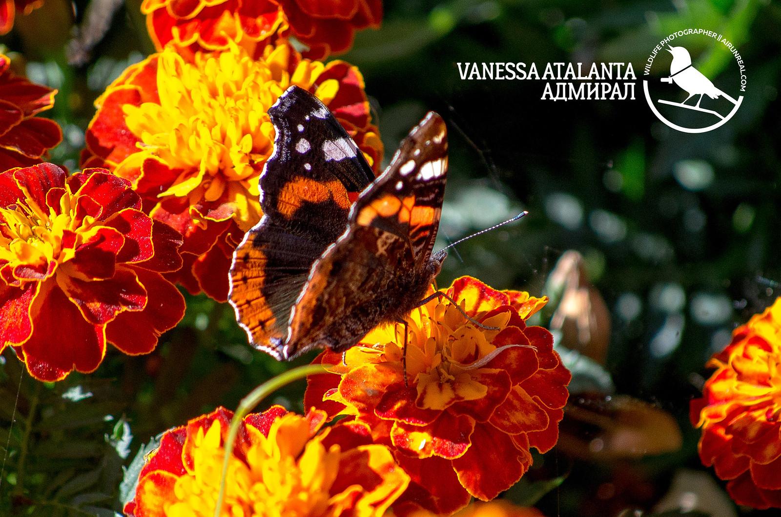 Vanessa atalanta // 20180627