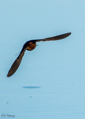 Swallows Skimming