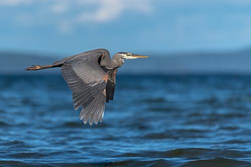 Great Blue Heron #3 in explore 5 July, 2018