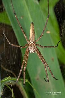 Nursery web spider (Euprosthenops cf. australis) - DSC_5410