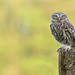 Little Owl by KHR Images