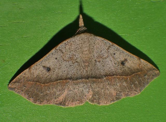 Lloooonnngg nose moth P1360896