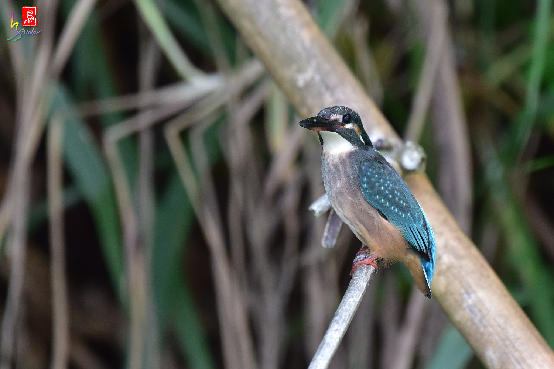 Common_Kingfisher_4183