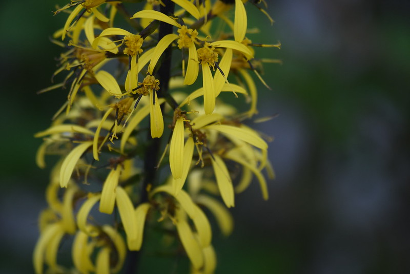 Rocket Ligularia (2)