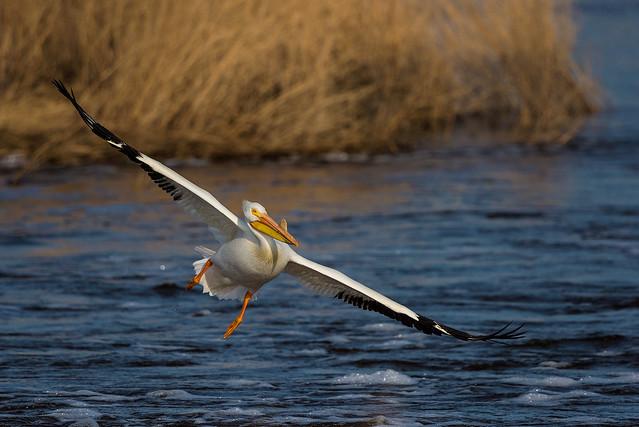 1805_1955 Pelican Incoming!