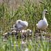 RSPB Ham Wall-Mute Swan