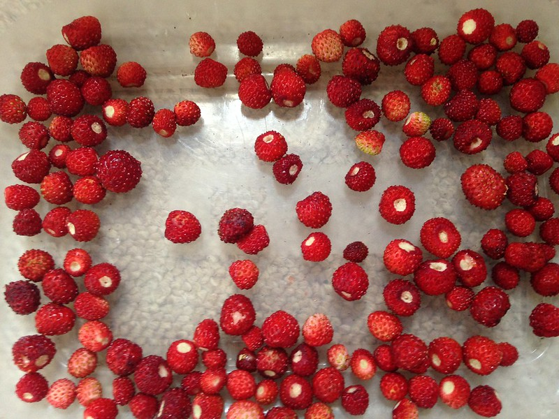 Back to my roots: Wild strawberries