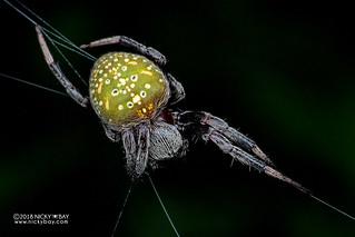 Orb weaver spider (Araneus sp.) - DSC_5106