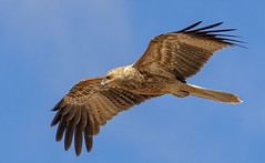 lagoon creek - a whistling kite