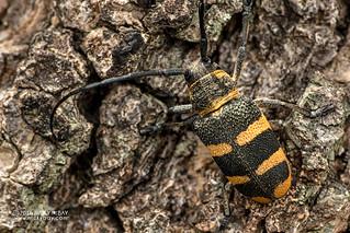 Longhorn beetle (Cerambycidae) - DSC_2678
