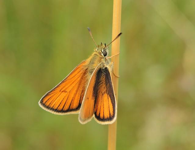 Essex Skipper (Thymelicus lineola), Nikon COOLPIX P7700