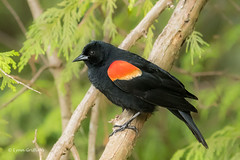 Red-winged Blackbird 501_0315.jpg