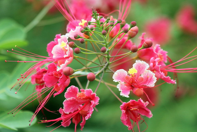 Fleurs de Flamboyant rose de Moorea