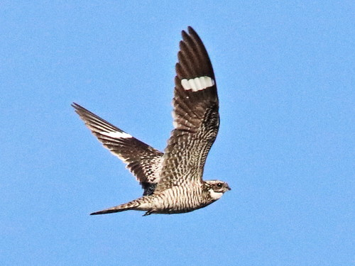 Common Nighthawk in flight 08-20180619