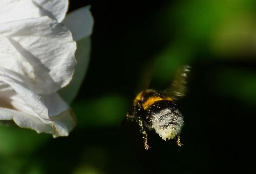 Pollinisateur en service.