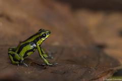Yellowbelly Poison Frog - Andinobates fulguritus