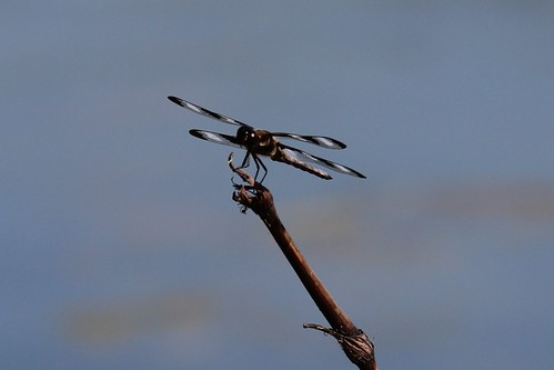 IMG_12102_Twelve_Spotted_Skimmer_Dragonfly
