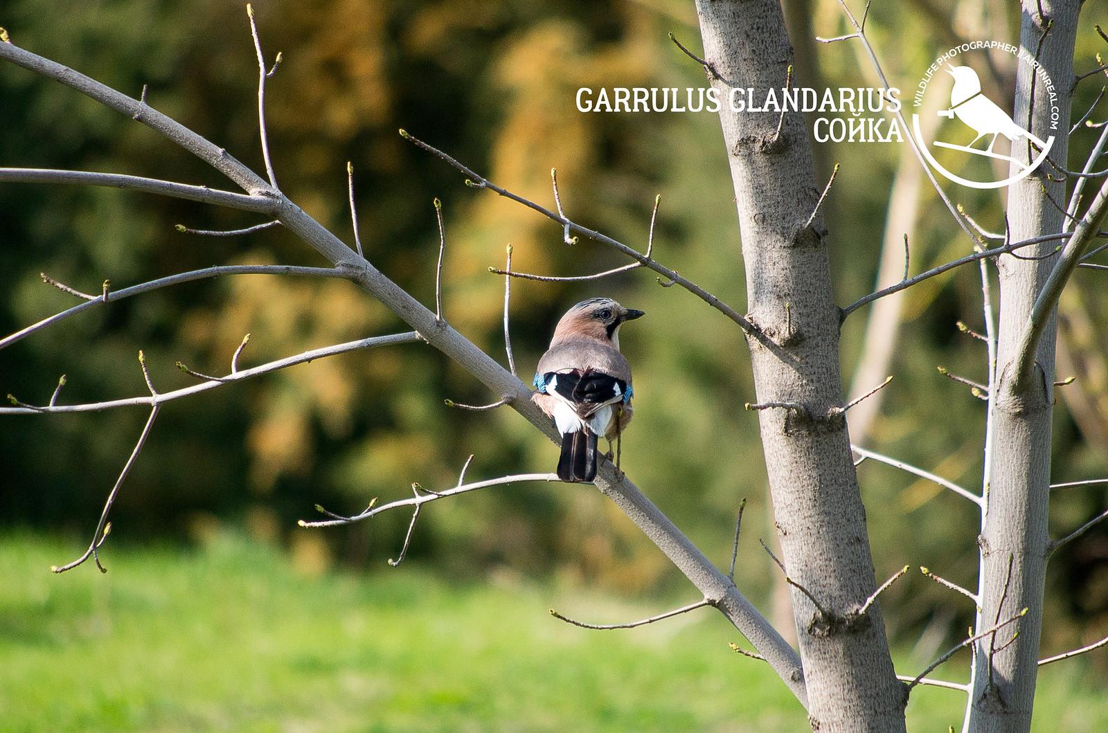 Garrulus glandarius // 20180711