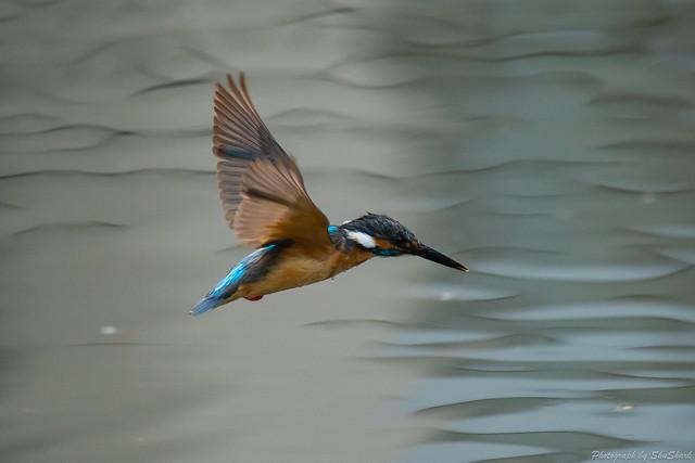 20180628-kingfisher-DSC_4593