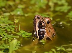 Common frog 020815 3813