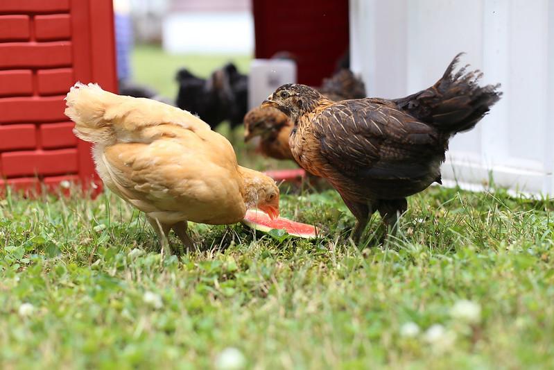 chicks enjoying watermelon