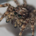 Jumping Spider (Salticus scenicus)7655 by Steven B. Weinberg