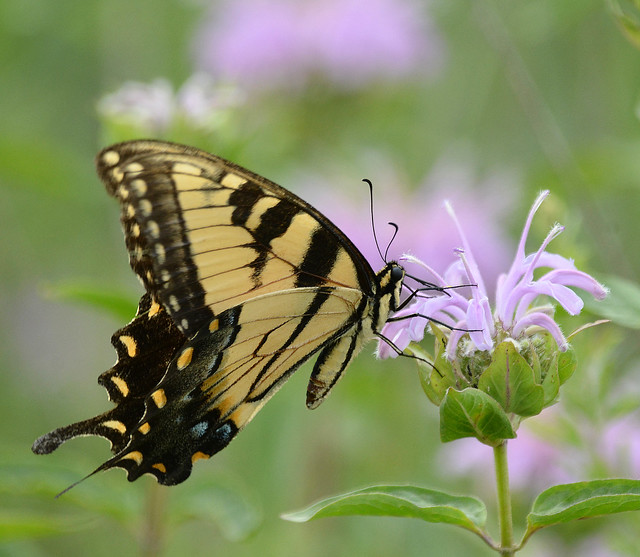 Butterflies on purple flowers, Nikon D7100, Sigma 150-600mm F5-6.3 DG OS HSM | C