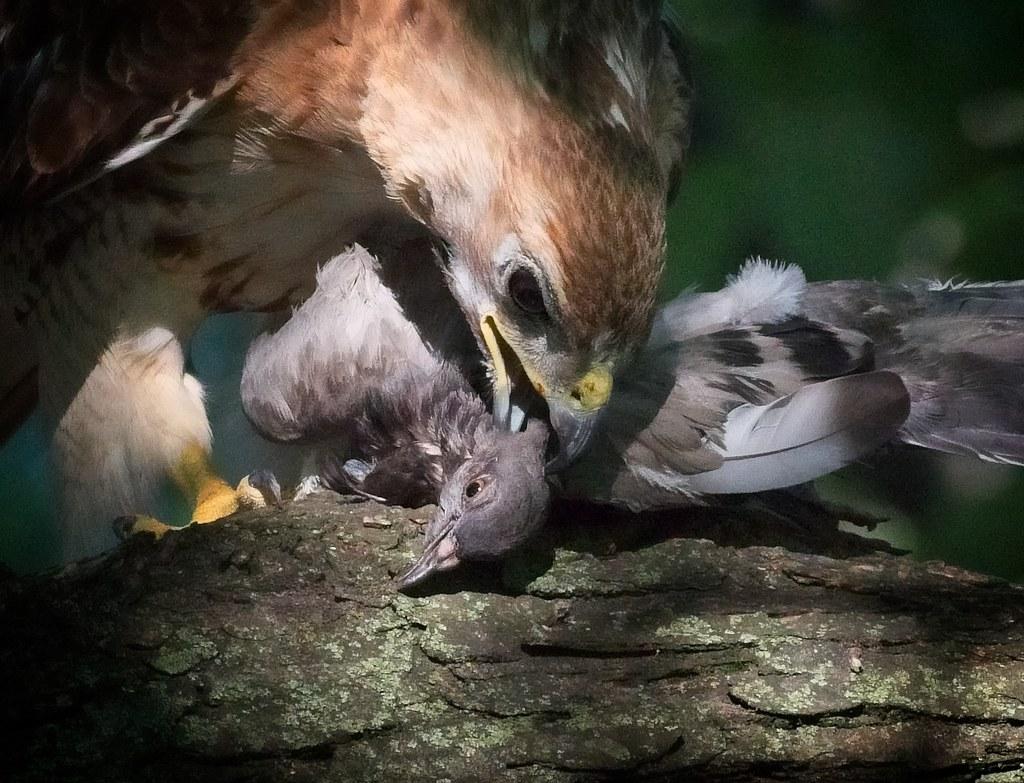 Christo kills a pigeon