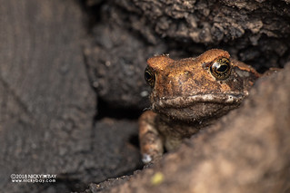 Frog in tree trunk - DSC_2244