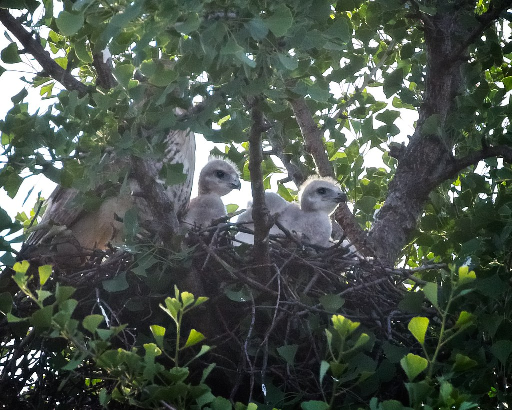 Tompkins red-tail nestlings