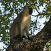 Singe vervet, parc national Kruger / Vervet monkey, Kruger National Park