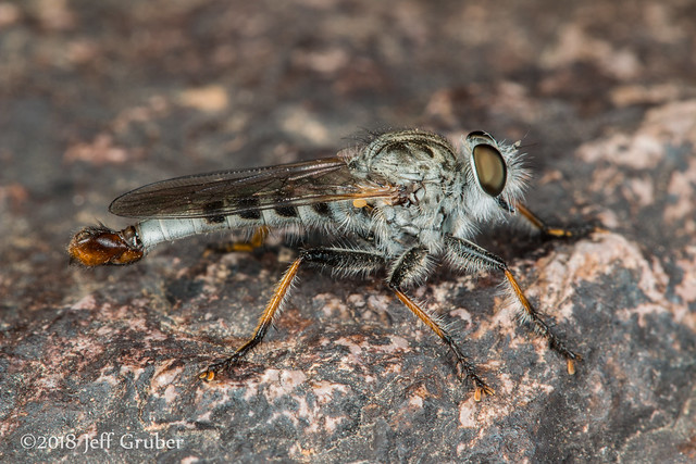 Robber Fly (Efferia sp.)