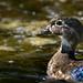 Chroniques d'Angrignon | Portrait du Canard branchu femelle | Parc Angrignon | Arrondissement Sud-Ouest | Montréal [Explore | 2018-07-18 | M02]