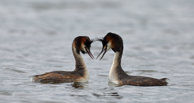 Great crested grebe, Canon EOS 5D MARK III, Canon EF 500mm f/4L IS