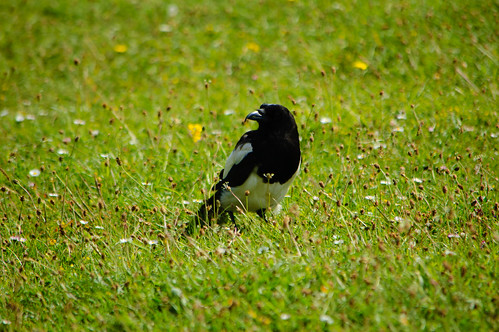 Magpie, Toposcope Hill, Baggeridge Country Park