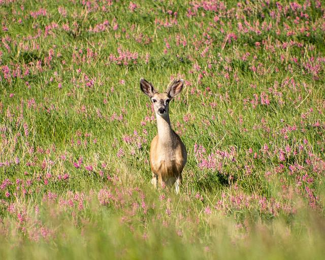 deer in the flowers