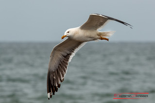 Seagull on Helgoland