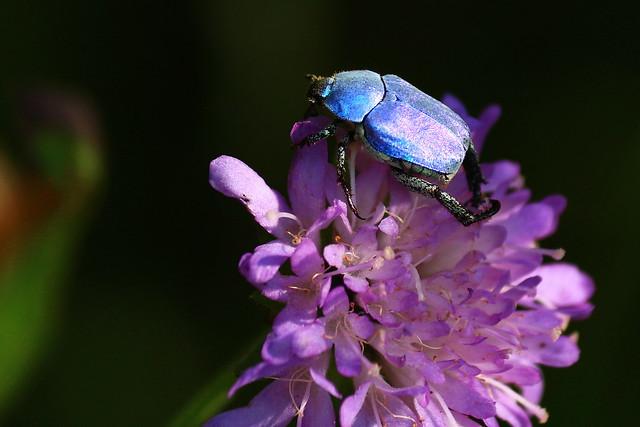 la cétoine bleue, Canon EOS 700D, Canon EF-S 55-250mm f/4-5.6 IS II