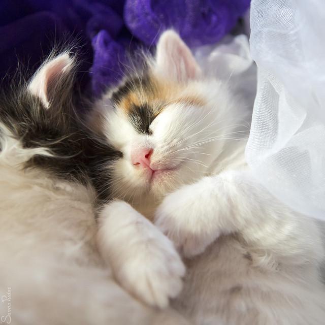 Turkish Van Cat Pictures and Information - Cat-Breeds.com
