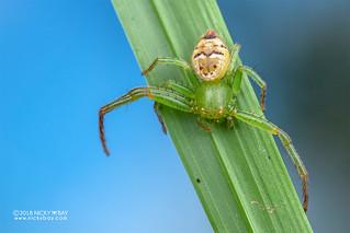 Crab spider (Synema diana) - DSC_4729