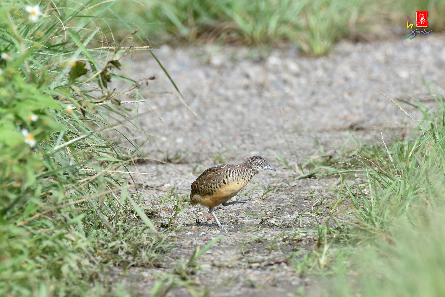 Barred_Buttonquail_4564