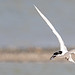 White fronted Tern 11