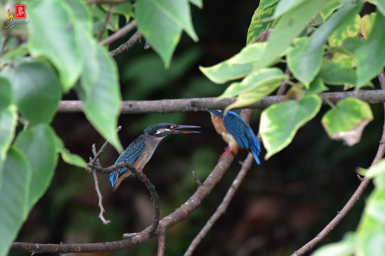 Common_Kingfisher_4118