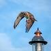 Hawk in Flight #119 by lennycarl08