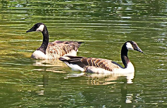 Canada Geese, Nikon E8800