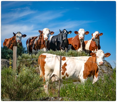 la brigade bovine - Photo of Saint-Symphorien