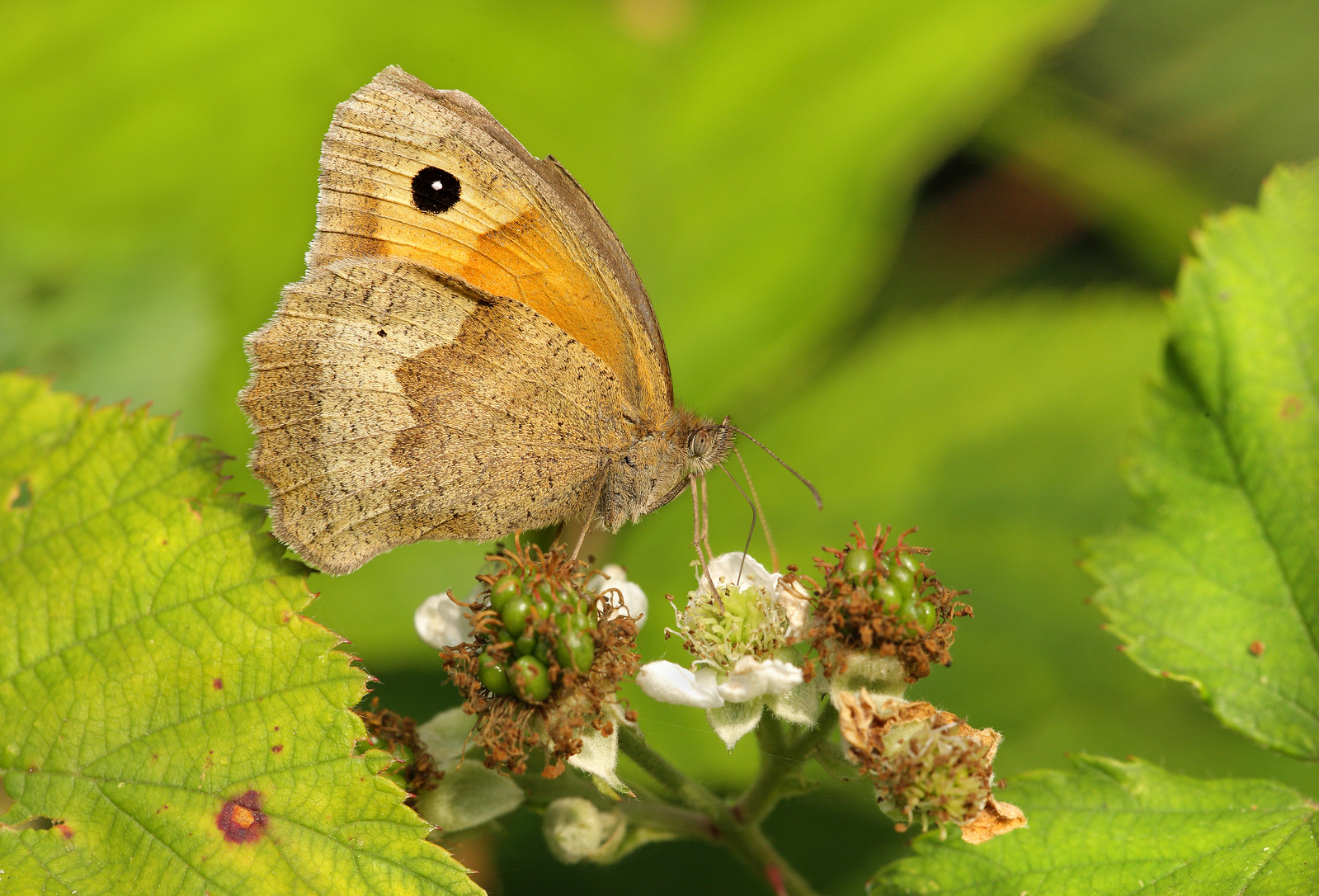 Meadow Brown feeding on brambles
