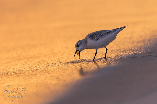 animal animalthemes animalwildlife animalshunting animalsinthewild beach foodchain nopeople outdoors panamacitybeach photography sandpiper sunset waterbird watersedge bird birding feather horizontal nature oneanimal print sand shore water wild wildlife