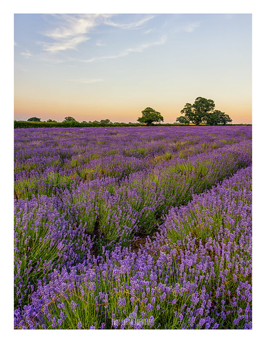 Stop and Smell the Lavender....