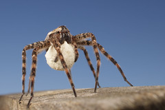 Dolomedes scriptus with egg sac